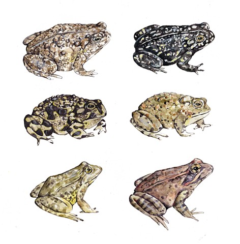 Rare and Endangered Frogs and Toads of California