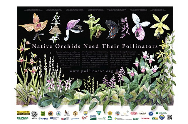 Native Orchids Need their Pollinators