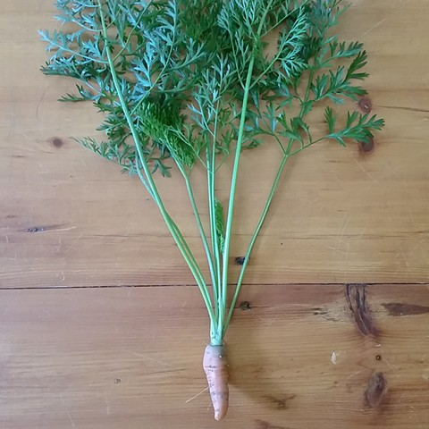 Terri's first home grown carrot!