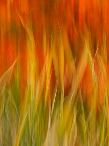 Grasses with fall foliage in the background