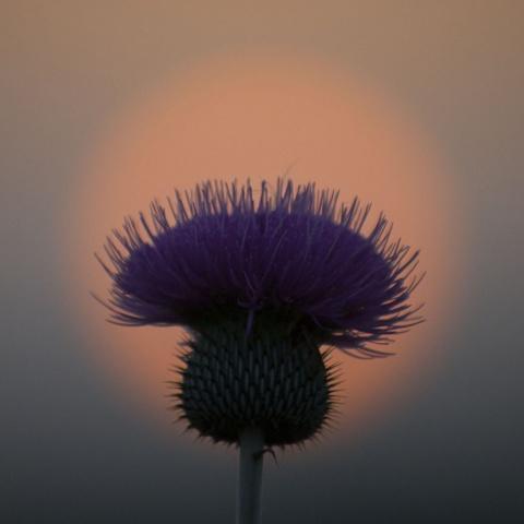 Thistle Sunset