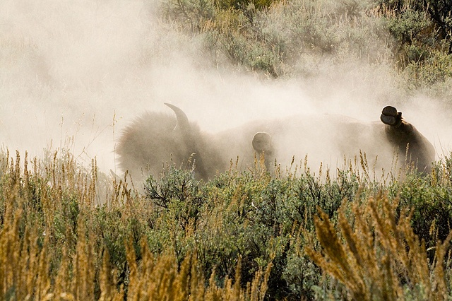 Bison rolling in the dirt