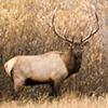 Elk in Tetons