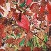 Autumn Leaves, Franklinia