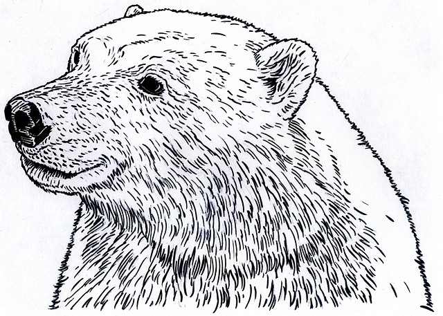 Polar Bear, preparatory drawing