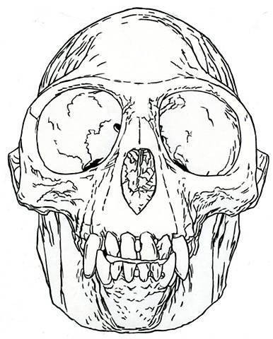 Golden Langur Skull, preparatory drawing
