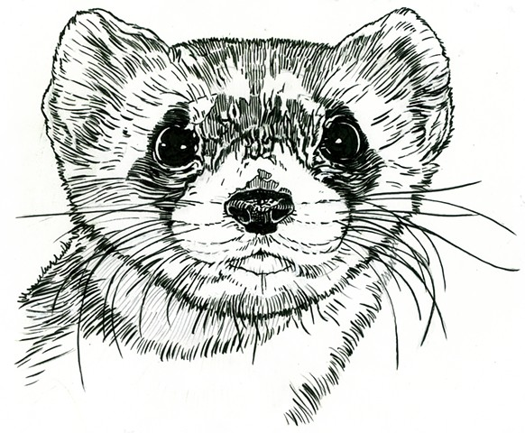 Brown-Footed Ferret, preparatory drawing