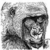 Cross River Gorilla, preparatory drawing