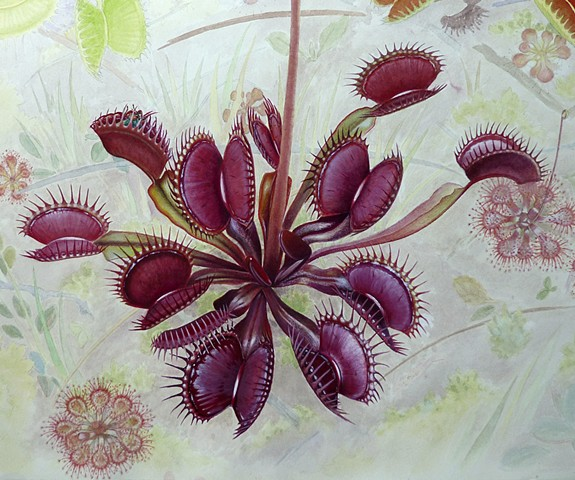 'Red Dragon' Venus Fly Trap with Drosera capillaris