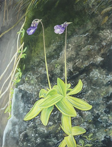 Pinguicula vulgaris