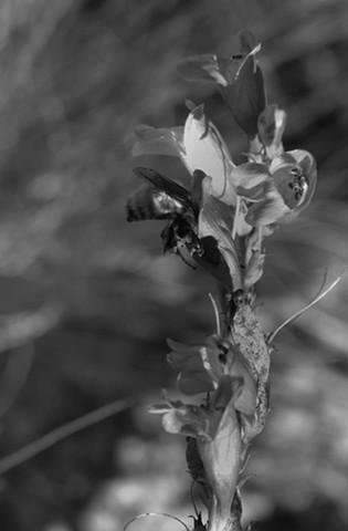 Bee in an Iris