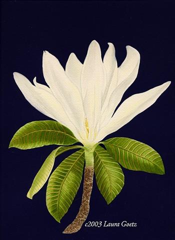 Decorative Tulip Magnolia©Laura Goetz2003