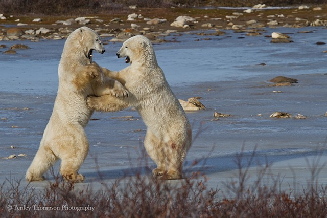 Polar Bear, sparring, fighting