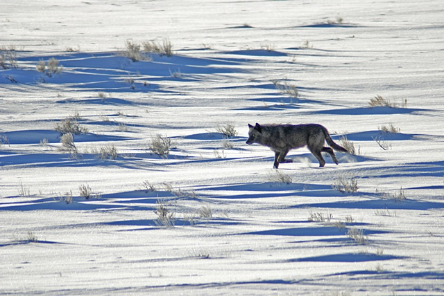 Wolf On Elk Refuge