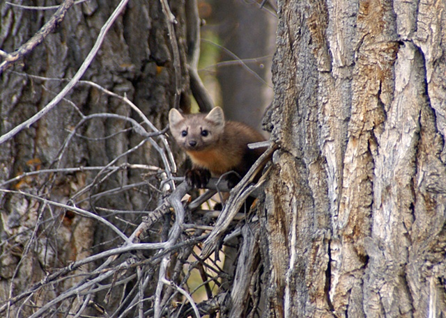Marten of the Cottonwoods