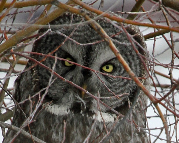 Great Gray Owl, Jackson Wyoming