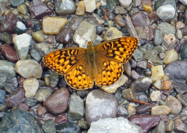 Butterfly and River Rock