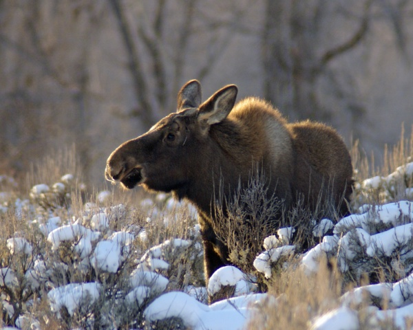 Young Winter Moose