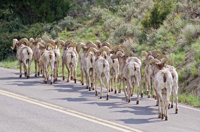 Bighorns on the road
