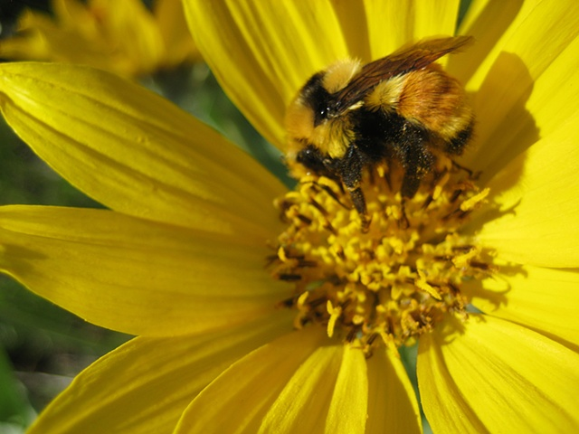 Bee, Flower, Arrowleaf Balsamroot