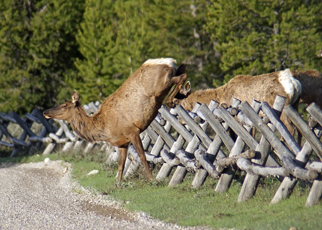 "Elk Jumping ""Bucking Rail"" Fence"
