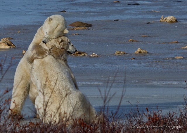 Polar Bear, hug, sparring, fighting