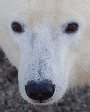 Polar Bear, Close Up