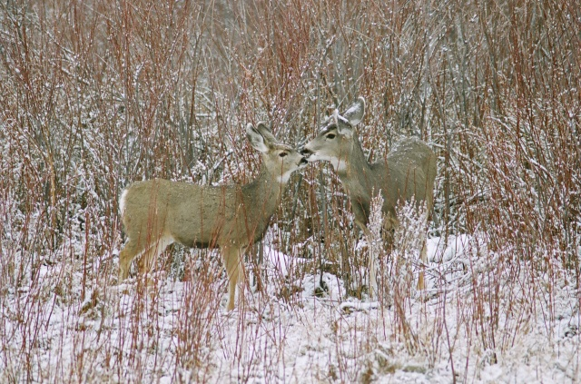 Red Day: Mule Deer and Fawn