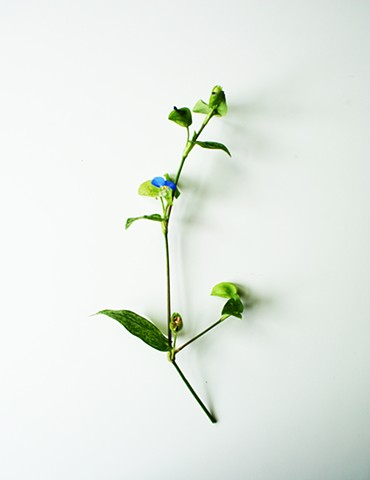 T.U.R.F: Asiatic Dayflower (Commelina communis)