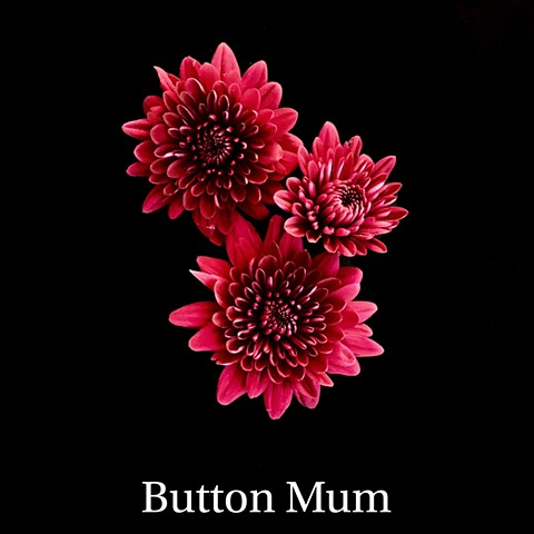 Button Mum