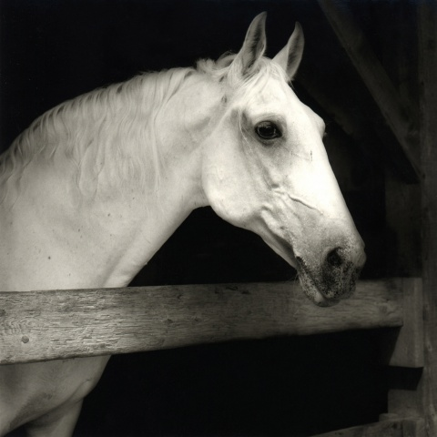 Lipizzaner, Martha's Vineyard