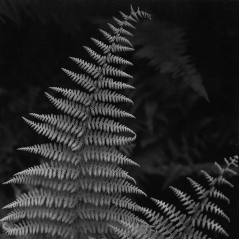 Fern, Martha's Vineyard