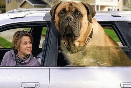 Downloaded from the internet a mastiff of gigantic size