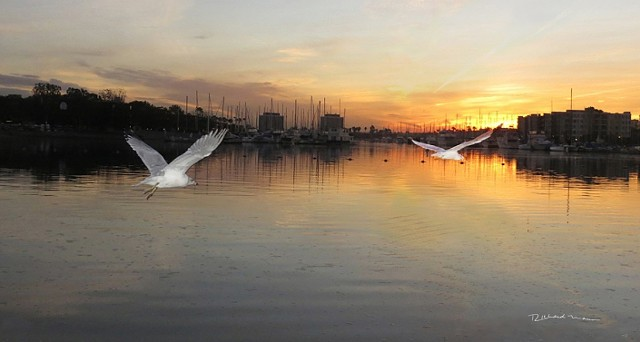 Marina del Rey California sunrise seagulls in flight-by Richard Mann