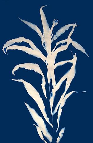 Cyanotype Print, Japanese Stiltgrass