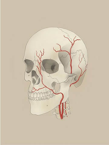 Facial Arteries