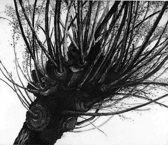 Tree- Glen Ellen