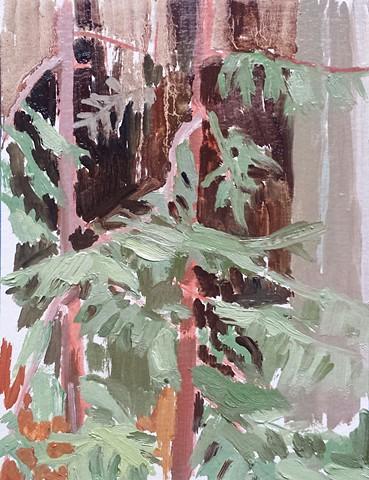 Baby Redwoods