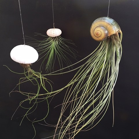 Assorted Jellyfish Air Plants  $6- $24
