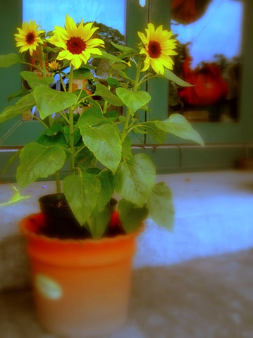 orange pot, sunflowers, blue window reflections