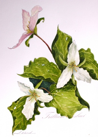 Trillium catesbaei, White Flower Series #4