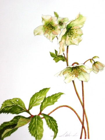 Hellebores Lenton Rose, White Flower Series #2
