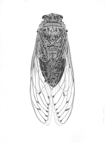 Pamponia imperatoria