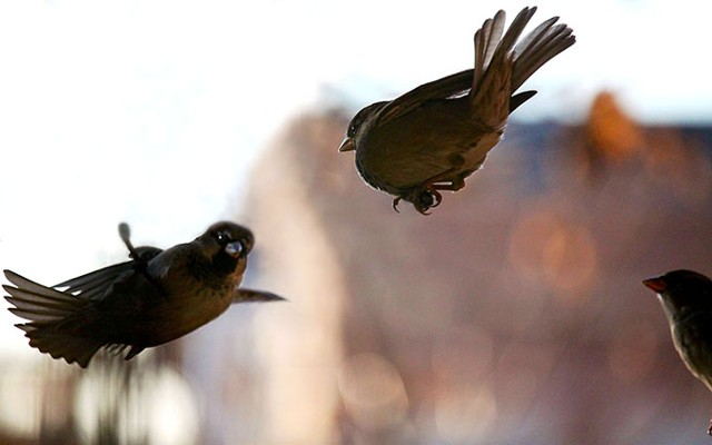 Birds, bird behavior, bird pairing, bird mating, bird feeding, bird flight, finches.