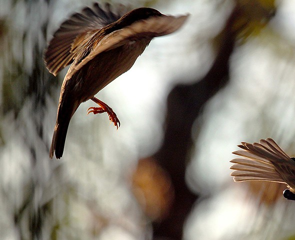 Birds, bird behavior, bird pairing, bird mating, bird feeding, bird flight, finches, bird specific behavior.
