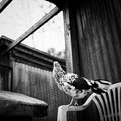 Polkadot, Resident of United Poultry Concerns
