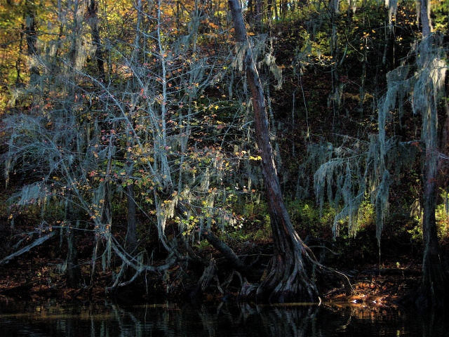 Caddo Lake Shoreline
