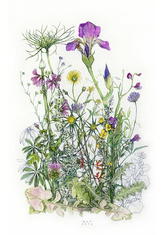 guache and graphite drawing of May wildflowers including iris on the island of Kea, Greece