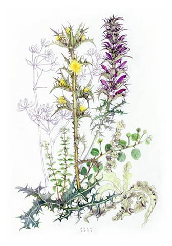 color drawing of july wildflower from the island of Kea, Greece