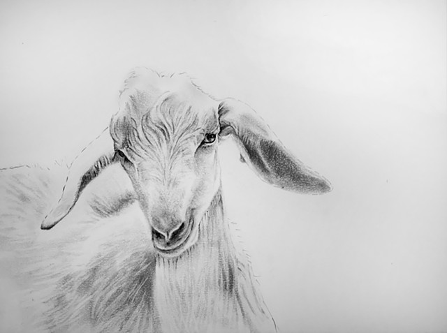 Portrait of a white goat.